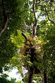 Rainforest with basket fern along the shores of Lake Echam, Atherton Tablelands, Queensland