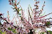 Blossoming almond trees, near Alaro, Majorca, Balearic Islands, Spain