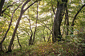 dense greenery forest at Horn Mountain around the so called three Emperor Mountains that are escarpment outliers in between Goeppingen and Schwaebisch Gmuend, Swabian Alb, Baden-Wuerttemberg, Germany