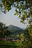pear hanging on tree, in the background there's the so called Limburg which is a former volcano, Weilheim at the Teck, Esslingen district, Swabian Alb, Baden-Wuerttemberg, Germany