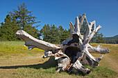 Driftwood on Whalen-Island near Pacific-City , Pacific-Coast , Oregon , U.S.A. , America