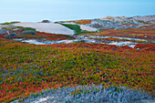 Dunes with flowers at Marina State Beach , Pacific Ocean , Southwestern California , California , USA