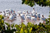 Flock of white pelicans wading along Sanibel Island, Florida, USA