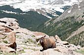 Yellow.bellied marmot (Marmota flaviventris), Rocky Mountain National Park, Colorado, USA