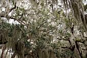 Spanish moss hanging from trees, Jekyll Island, Georgia, USA