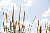 Tall grass against blue sky dotted with clouds