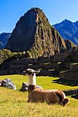Llama at the iconic archeological site of Machu Picchu in the Cusco Region, Urubamba Province, Machupicchu District, Peru, South America