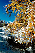 The unusual contrast between the pure white of an early snowfall and the bright yellow trees in Val Roseg, Engadine, Switzerland Europe