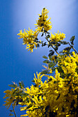Acacia dealbata (known as silver wattle, blue wattle or mimosa) is a species of Acacia. Lombardy Italy Europe