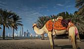 Camel looking at distant city, Abu Dhabi, Abu Dhabi Emirate, United Arab Emirates