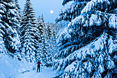 Women skiing in a winter forest, cross-country skiing at full moon, winter landscape, fir trees covered with snow, Harz, MR, Sankt Andreasberg, Lower Saxony, Germany
