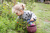 Little girl picking cherry tomatoes from vegetable garden