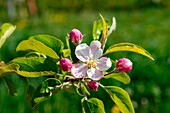 Europe, Italy, Trentino Alto Adige, Non Valley, apple blossoms in springtime.