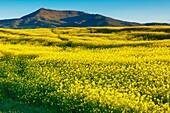 Rape crop (Brassica napus). Tierra Estella, Navarre, Spain, Europe.