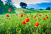 Poppies on a cereal field. Ayegui, Navarre, Spain.