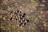 Aerial view of Red Lechwes (Kobus leche), in the floodplain. Okavango Delta, Botswana. The Okavango Delta is home to a rich array of wildlife. Elephants, Cape buffalo, hippopotamus, impala, zebras, lechwe and wildebeest are just some of the large mammals