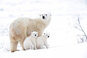 Polar bear mother (Ursus maritimus) with two cubs, Wapusk National Park, Manitoba, Canada.