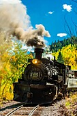 The Cumbres & Toltec Scenic Railroad train pulled by a steam locomotive passes through groves of aspen trees in peak autumn color on the 64 mile run between Chama, New Mexico and Antonito, Colorado. The railroad is the highest and longest narrow gauge ste