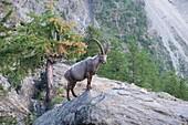 Wild alpine ibex (steinbock) along the Europaweg near Zermatt, Switzerland.