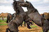 Icelandic horses near Bryggja, Iceland, South West Iceland, Golden Circle tour, Evolved from ponies taken to Iceland in the 9th and 10th centries by Norse settlers.