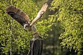 Eule, Vogelshow, Abflug vom Ansitz, Wildpark Schorfheide, Brandenburg, Deutschland