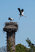 Weißstörche, Storchennest, Storchenfamilie auf Schornstein, Abflug Storch aus Nest, Storchendorf Linum, Brandenburg, Deutschland