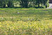 White stork, parent animal on food search, white stork on a flower meadow, Brandenburg, Germany