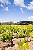 Rebstöcke vor der Burg,  Les-Baux-de-Provence,  schönsten Dörfer Frankreichs,  Naturpark Alpilles,  Provence-Alpes-Côte d'Azur,  Bouches-du-Rhône,  Frankreich