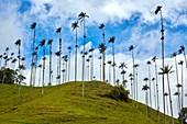 Palma de Cera del Quindío (Ceroxylon quindiuense), Valle del Cocora, Salento, Quindio, Colombia, South America