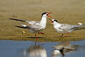 Common tern (Sterna hirundo) Screeching on a beach. This seabird is found in the sub-arctic regions of Europe, Asia and central North America. It migrates to the subtropical and tropical oceans. The common tern grows up to 37 centimetres with a wingspan o