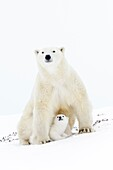 Polar bear mother (Ursus maritimus) getting up on tundra, with two new born cubs, Wapusk National Park, Manitoba, Canada.