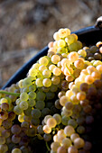 France, Vaucluse, Luberon, Goult, Domaine de la Verriere, grape haverst, wine grape