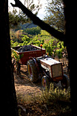 France, Vaucluse, Luberon, Goult, Domaine de la Verriere, grape haverst