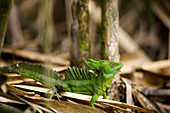 Costa Rica, Limon Province, Caribbean coast, journey on the Estrella Delta canals at 10 km from Cahuita, green basilisk (Basiliscus plumifrons) called the Jesus Lizard
