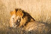 Botswana, North-west district, Chobe National Park, Savuti arid region, lion