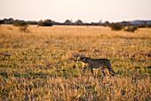 Botswana, North-west district, Chobe National Park, Savuti arid region, cheetah chasing