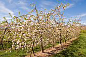 France, Alpes de Haute Provence, blooming orchard, apple trees