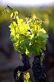 France, Vaucluse, Luberon, Aigues valley, La Tour d'Aigues, Cotes du Luberon (AOC), vine