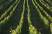 Vineyards near Bacharach by the Rhine, Upper Middle Rhine Valley, Rheinland-Palatinate, Germany, Europe
