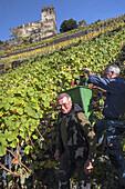 Grape harvest in the vineyard underneath Burg Gutenfels castle, near Kaub, Upper Middle Rhine Valley, Rheinland-Palatinate, Germany, Europe