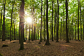 Beech trees above the chalk cliffs, Jasmund national park, Ruegen, Baltic Sea, Mecklenburg-West Pomerania, Germany
