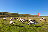 Sheep at the dike, Pilsum lighthouse, near Greetsiel, East Friesland, Lower Saxony, Germany