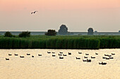 Geese at Leyhoern nature reserve, near Greetsiel, East Friesland, Lower Saxony, Germany
