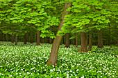 Maple and flourishing wild garlic, Hainich national park, Thuringia, Germany