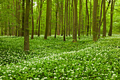 flourishing wild garlic, Hainich national park, Thuringia, Germany