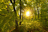 Deciduous forest at dawn, Grosser Inselsberg, Thuringia Forest, Thuringia, Germany