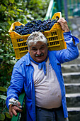 Italy, Campania, Amalfi Coast, listed as World Heritage by UNESCO, Nocella, above Positano, grape harvest