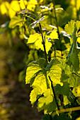 France, Gironde, Salleboeuf, Bordeaux vineyard, crop cycle of the vine, stem and vine leaf in Spring