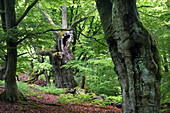 Old beech forest, nature reserve pastoral forest Halloh, North Hesse, Hesse, Germany