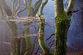 Alte Buche, Biosphärenreservat Rhön, Naturpark Bayerische Rhön, Bayern, Deutschland